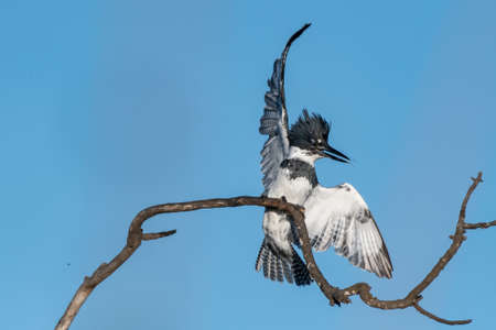 Male Belted Kingfisher flings water drops and flaps colorful wings to make delicate landing on deadwood branch perch.