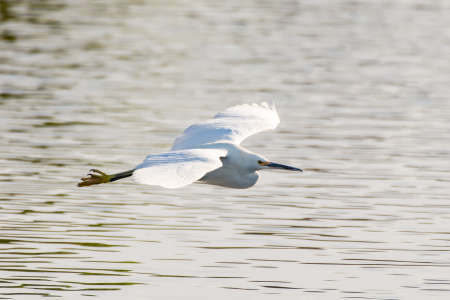 White Egret bird spreads wings wide to glide over the pond water surface to opposite shore.