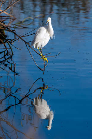 White Egret bird balances on low branch perch overhanging pond water as reflection mirrors image in lagoon.