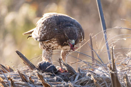 Majestic Coopers Hawk stands over freshy hunted prey and eats the flesh of the slain bird.
