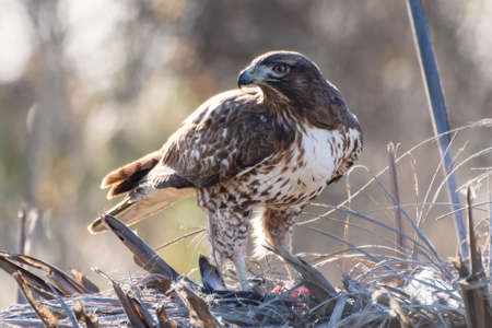 Majestic Coopers Hawk stands over freshy hunted prey and ready to protect his meal.