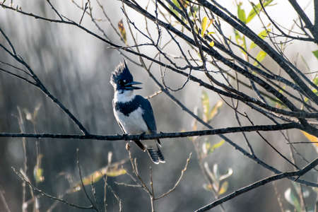 Majestic Belted Kingfisher perched firmly on lagoon vegetation branch in search of next meal.