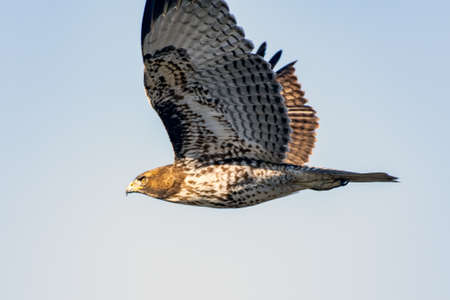 Majestic Coopers Hawk, with wide wing span flying across the blue sky with a twinkle in her eye.