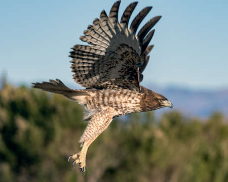 Juvenile Coopers Hawk flapping stripped colored wings during take off with sharp talons dangling below. Reklamní fotografie