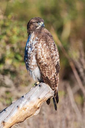 Juvenile Coopers Hawk perched atop a deadwood log branch with an alert eye looking out for this bird of preys next meal.