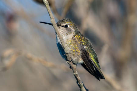 Small Rufus Hummingbird clings to branch perch in estuary vegetation while turning feathered head to left.