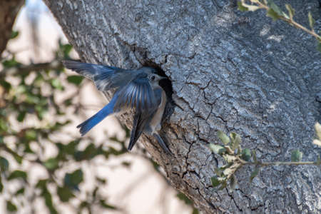 Male and female Says Phoebe birds flying in together to the entrance in oak tree to their home nest.