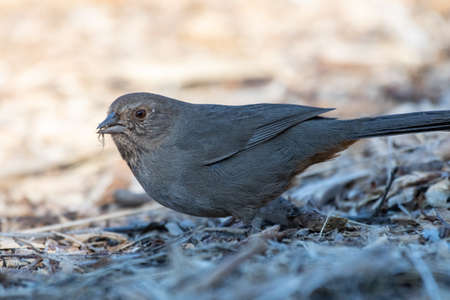 California Towhee bird keeps alert eye out for danger while chewing on tasty bug in his beak.