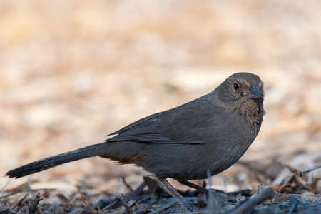 California Towhee bird keeps alert eye out for danger while foraging through the dead branches and leaves for bugs to eat.