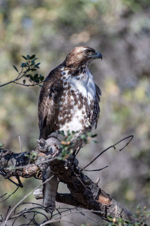 Coopers Hawk bird keeps alert eye out for danger while perched on deadwood oak tree branch in California hills.