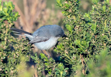 Cute Blue Grey Gnatcatcher bird perched on  estuary bush while reaching into the branches  with its beak for bugs to eat. Reklamní fotografie