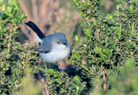 Cute Blue Grey Gnatcatcher bird perched on  estuary bush while looking through the leaves and around the branches for bugs to eat. Reklamní fotografie