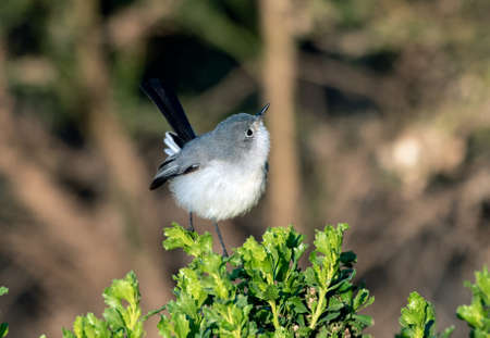 Cute Blue Grey Gnatcatcher bird perched on top of estuary bush while foraging around the branches for bugs to eat.