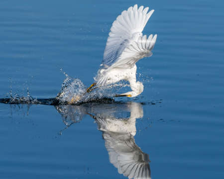 Snowy White Egret splash down onto pond surface reflection with wings spread while successfully catching an anchovy fish from the water.