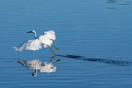 Snowy White Egret leaves soft wake of water behind after skimming feet across pond surface while hunting for fish.