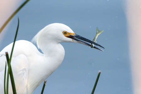 Snowy White Egret about to swallow anchovy fish freshly caught from the pond and now grasps in his beak.