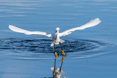 Snowy White Egret lightly drags feets across reflective pond surface with wings spread and gliding.