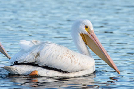 White Pelican floating across the pond water surface with large wings tucked under on this winter morning.