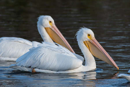 A pair of White Pelicans of the same pod, floating across the pond water surface with large wings tucked under on this winter morning.