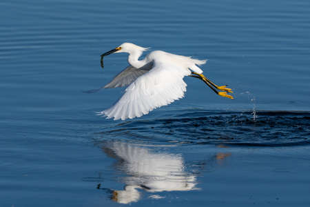 Snowy White Egret lightly drags feets across reflective pond surface with wings spread and happy with capture of fish grasped in its beak.