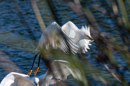 Sunny winter day in Ventura as the Snowy White Egret flies through the pond reeds with a prized catch of fish in its beak.
