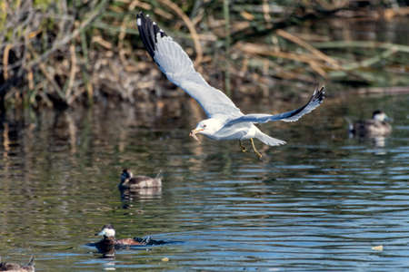 Seagull with wings up and carrying a leaf in bill glides over the reflective lagoon pond water as the swimming ducks watch.