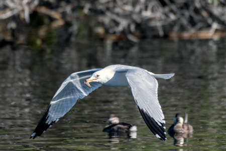 Seagull carrying a leaf in bill glides over the reflective lagoon pond water as the swimming ducks watch.
