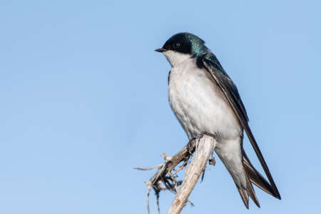 Tree Swallow flies perched atop a deadwood branch against blue sky while keeping an alert eye for danger.