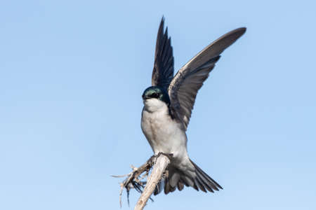 Tree Swallow has wings spread high while grasping the deadwood branch for a landing perch. Фото со стока