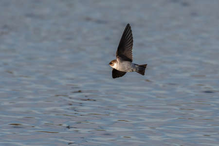Tree Swallow flies low over the estuary pond surface looking for food to snatch from the water.
