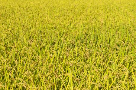 gokayama: Scenic of golden paddy rice field ready for harvest in Gokayama, Japan