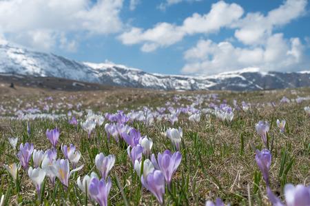 vernal: Krokuse in the Dolomites, Seiser Alm Stock Photo