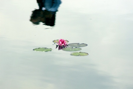 waterlilly: Waterlily on a lake