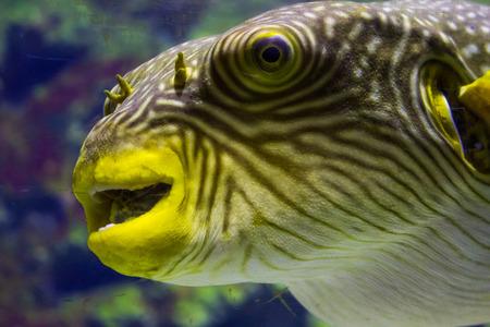 blackspotted: Pufferfish closeup view in an aquarium