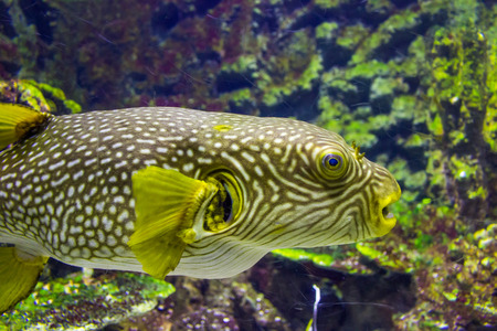 arothron: Pufferfish closeup view in an aquarium