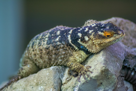 the lizzard: Lizzard resting on a rock