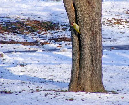 bole: Woodpecker is working on a bole