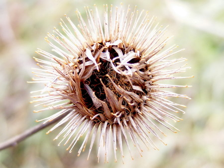 thistle plant: Decorative thistle plant macro photo