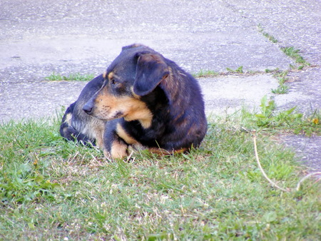 poser: Dog lie on the ground and watching