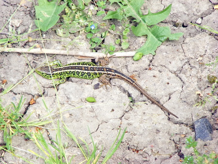 lizard in field: Green reptile on the garden field