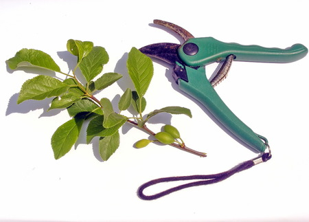 secateur: Isolated secateur and green cutted branch with white background