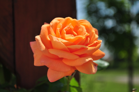 pinks: Beautiful orange rosebud with leafes