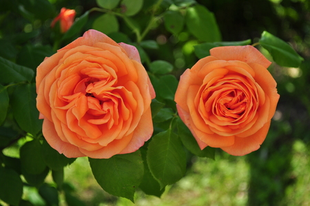 Beautiful orange rosebud with leafes