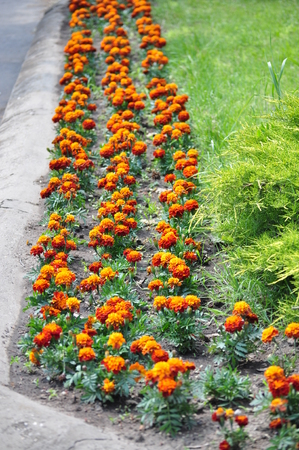 tagetes: Tagetes flower line in the city Stock Photo