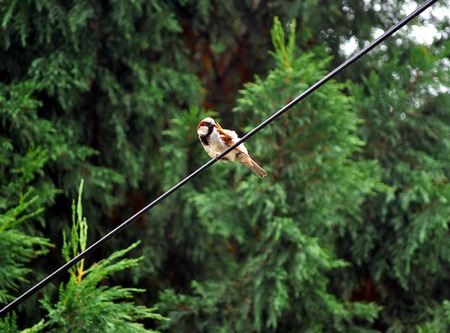 Sparrow bird sitting on the cable with tree background