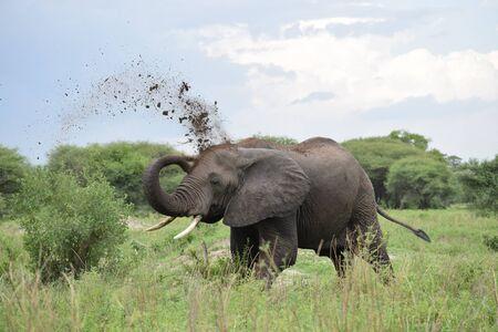Sand bathing elephants in the jungle