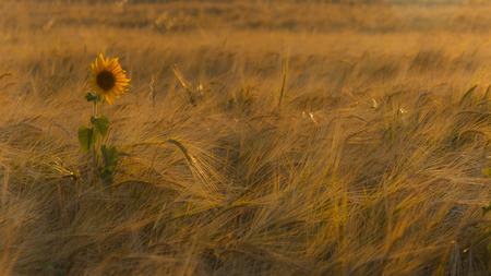 solitary sunflower between the cereal Stok Fotoğraf