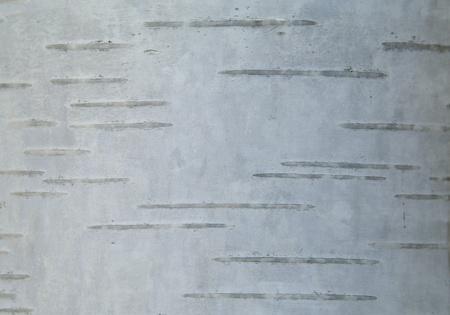 betula pendula: Smooth white bark of a silver birch tree (Betula pendula). The striped and silver texture makes a good background. Stock Photo
