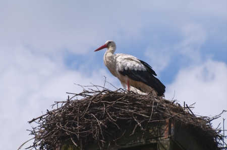 White stork on a nest photo