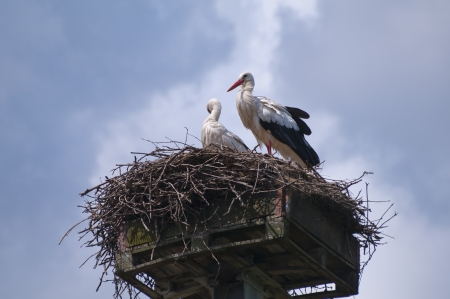 Two white storks on a nest photo